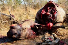 Altro esempio della scia di morte lasciata dai bracconieri