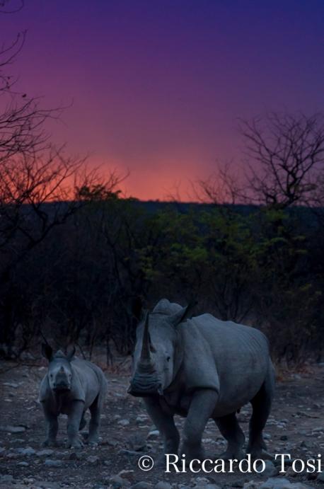 un adulto ä un cuccilo di rinoceronti in Namibia