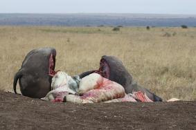 Un elefante braccato giace nel cuore delal savana