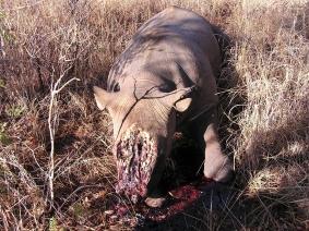 Zimbabwe- un rinoceronte senza corno, soltamente viene tagliato con la motosega dopo che viene narcotizzato