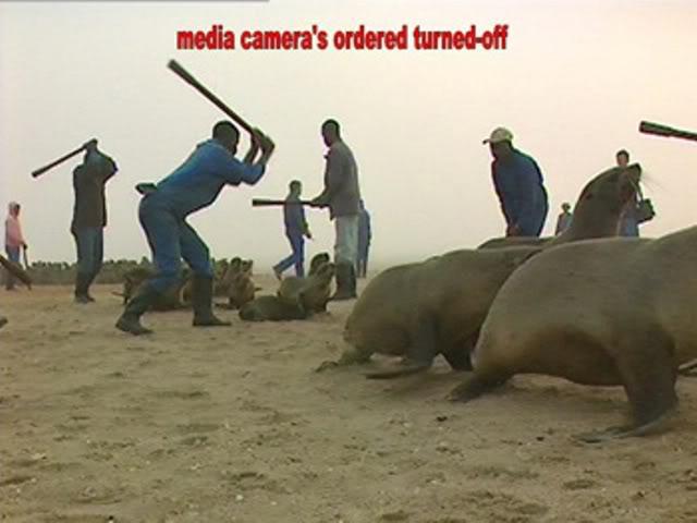 Il massacro dei cuccioli di foca in Namibia da parte di una compagnia privata australiana.